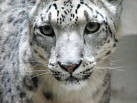 snow_leopard_face.jpg