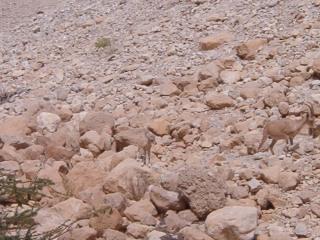 camouflaged-goat.jpg