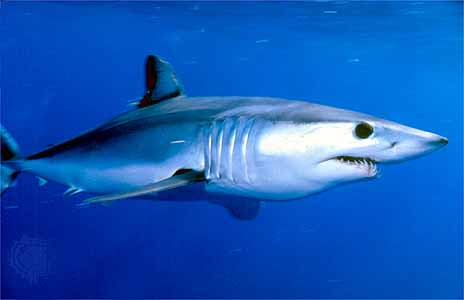 http://mrbarlow.files.wordpress.com/2008/11/mako-shark.jpg