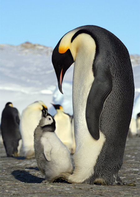 Emperors facing extinction mr barlow 39 s blog for Penguin and fish