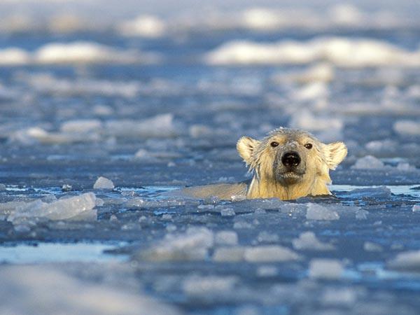 Polar bear swimming in ocean - photo#11