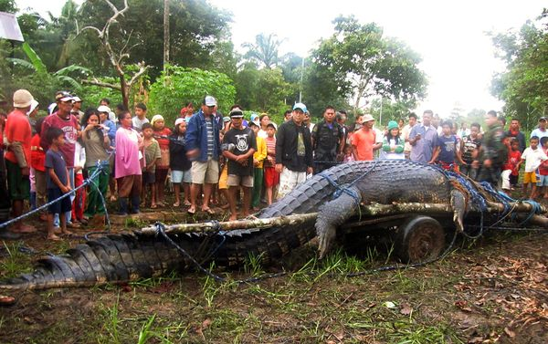 Largest Crocodile Ever Killed People and killing two.