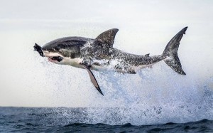 Leaping shark