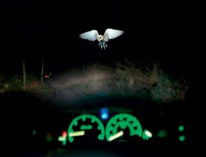 Owl in front of car