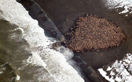 mass-walrus-gathering