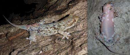 Geckolepis megalepis.png